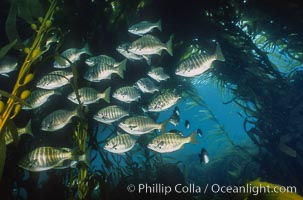 Zebra perch amid kelp forest. San Benito Islands (Islas San Benito), Baja California, Mexico, Hermosilla azurea, Macrocystis pyrifera, natural history stock photograph, photo id 06198