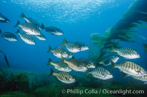 Zebra perch amid kelp forest, Islas San Benito. San Benito Islands (Islas San Benito), Baja California, Mexico, Hermosilla azurea, Macrocystis pyrifera, natural history stock photograph, photo id 06200