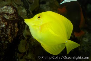 Yellow tang., Zebrasoma flavescens, natural history stock photograph, photo id 11042