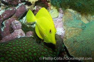 Yellow tang, juvenile., Zebrasoma flavescens, natural history stock photograph, photo id 11850