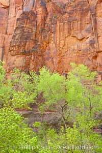 Cottonwoods with their deep green spring foliage contrast with the rich red Navaho sandstone cliffs of Zion Canyon, Zion National Park, Utah