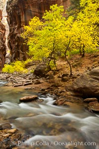 Yellow cottonwood trees in autumn, fall colors in the Virgin River Narrows in Zion National Park. Virgin River Narrows, Zion National Park, Utah, USA, natural history stock photograph, photo id 26120