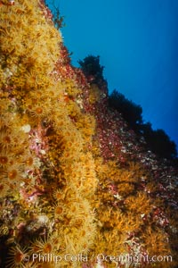 Zoanthid anemones on rocky reef, Guadalupe Island (Isla Guadalupe)
