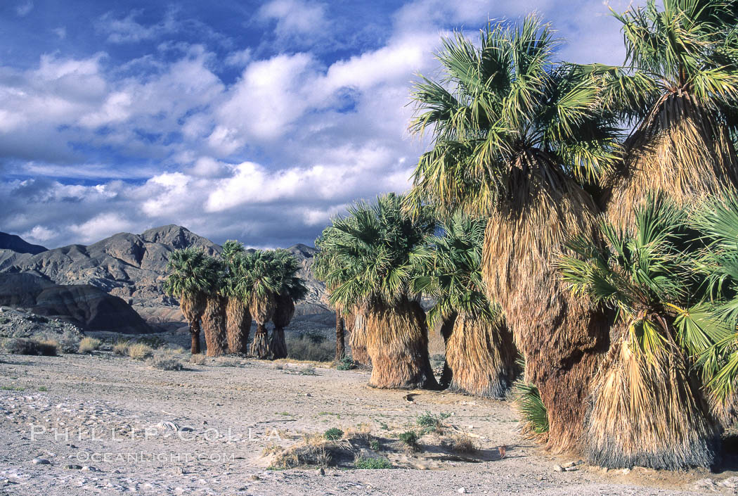 Seventeen Palms Oasis, Borrego Badlands. Anza-Borrego Desert State Park, Borrego Springs, California, USA, natural history stock photograph, photo id 05538