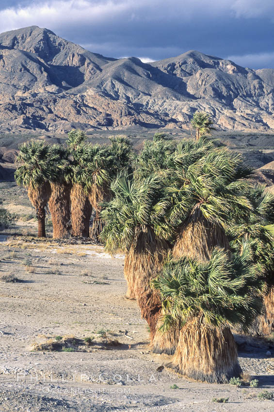 Seventeen Palms Oasis, Borrego Badlands.,  Copyright Phillip Colla, image #05539, all rights reserved worldwide.