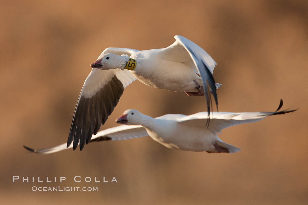 Snow goose bearing neck and leg research ID tags, in flight, Chen caerulescens, Bosque Del Apache, Socorro, New Mexico