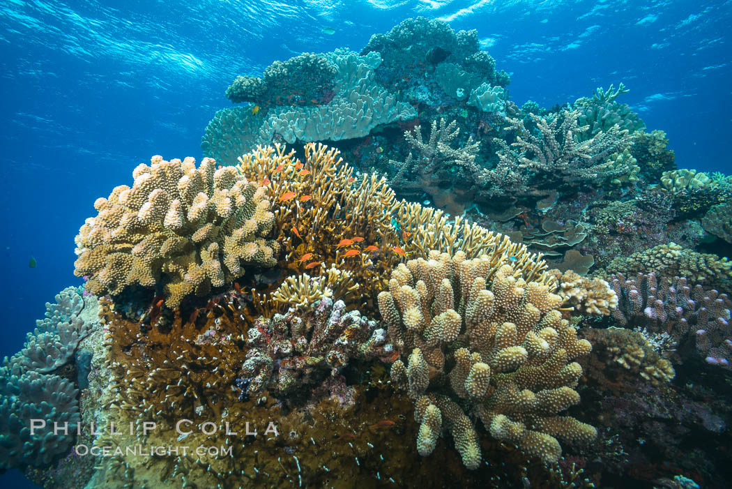 Acropora coral (foreground) on South Pacific Coral Reef, Fiji, Vatu I Ra Passage, Bligh Waters, Viti Levu  Island