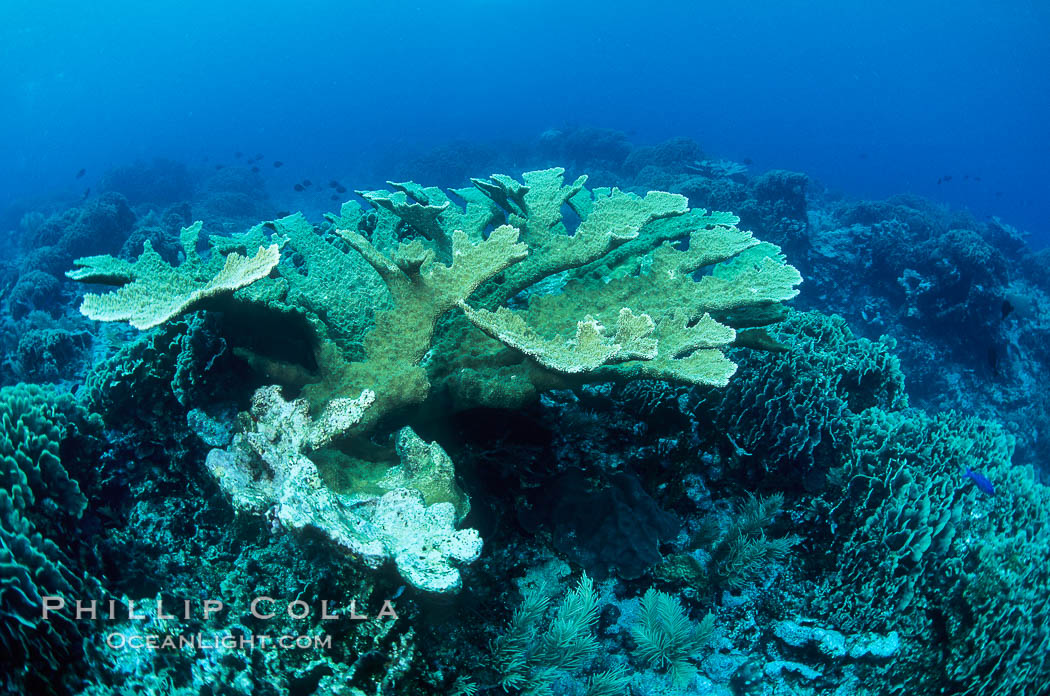 Elkhorn coral., Acropora palmata,  Copyright Phillip Colla, image #05563, all rights reserved worldwide.
