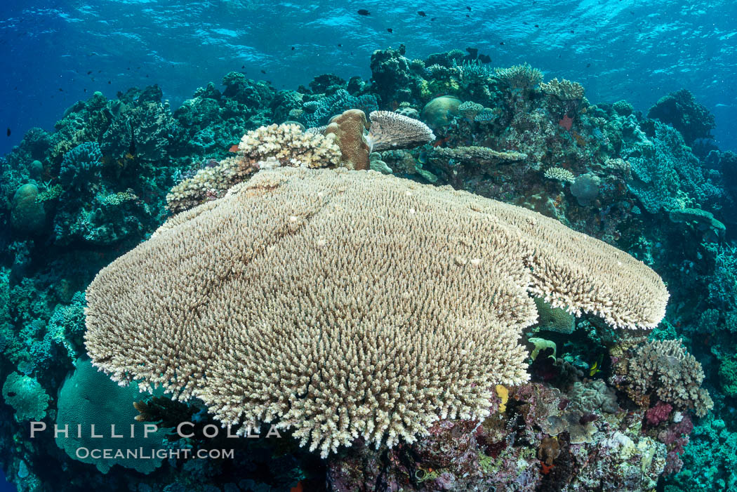 Acropora table coral on pristine tropical reef. Table coral competes for space on the coral reef by growing above and spreading over other coral species keeping them from receiving sunlight, Vatu I Ra Passage, Bligh Waters, Viti Levu  Island, Fiji
