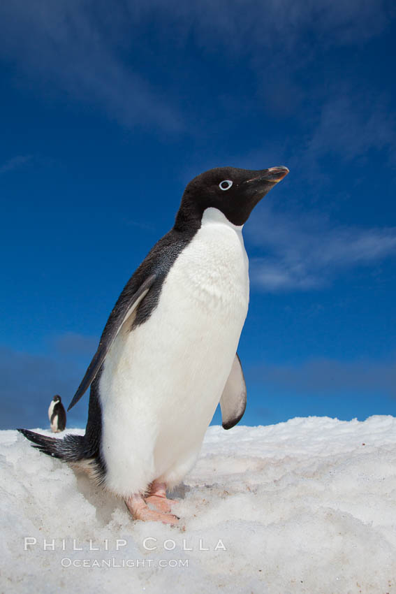 cute  inquisitive Adelie penguin poses for a portrait while standing    Cute Adelie Penguin