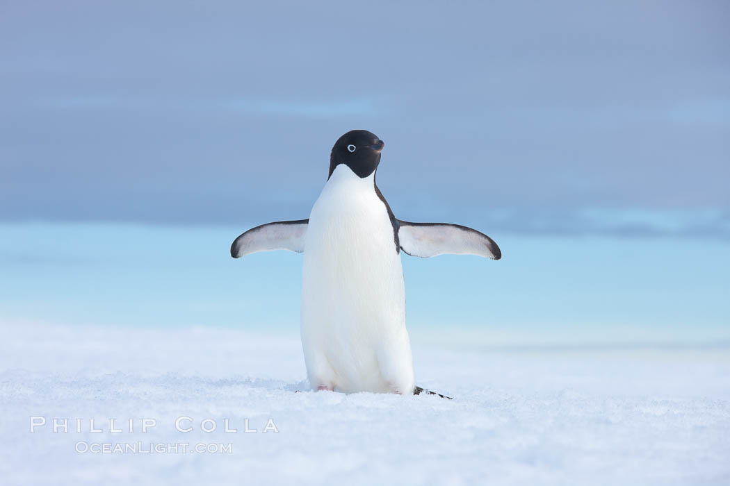 A curious Adelie penguin, standing at the edge of an iceberg, looks over the photographer. Paulet Island, Antarctic Peninsula, Antarctica, Pygoscelis adeliae, natural history stock photograph, photo id 25055