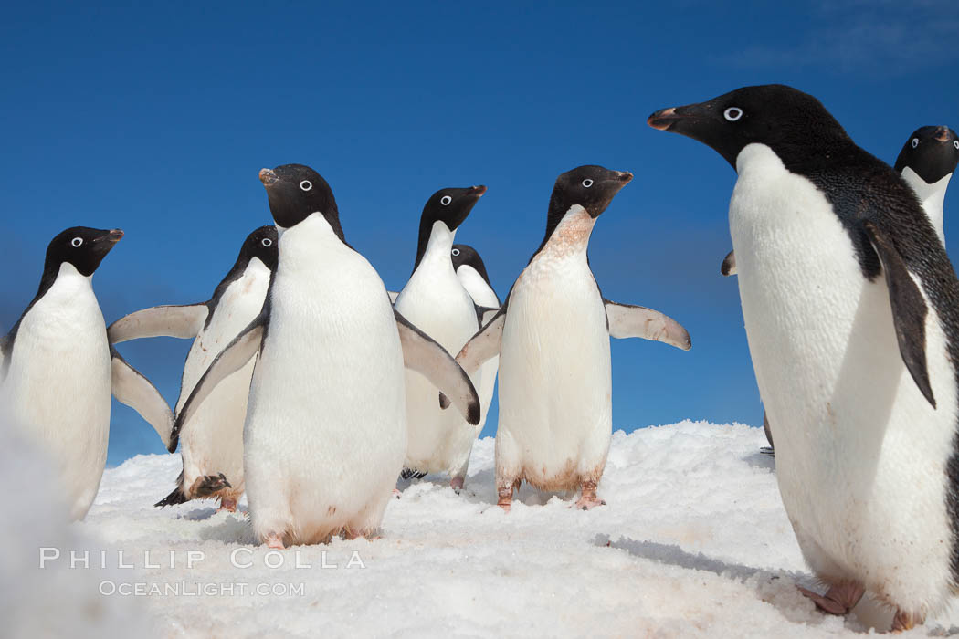 A group of Adelie penguins, on packed snow, Pygoscelis adeliae, Paulet Island