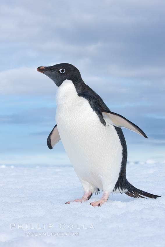 A curious Adelie penguin, standing at the edge of an iceberg, looks over the photographer. Paulet Island, Antarctic Peninsula, Antarctica, Pygoscelis adeliae, natural history stock photograph, photo id 25053