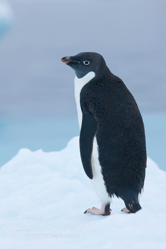 Adelie penguin on an iceberg. Brown Bluff, Antarctic Peninsula, Antarctica, Pygoscelis adeliae, natural history stock photograph, photo id 25034