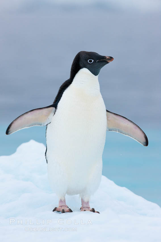 Adelie penguin on an iceberg. Brown Bluff, Antarctic Peninsula, Antarctica, Pygoscelis adeliae, natural history stock photograph, photo id 25032