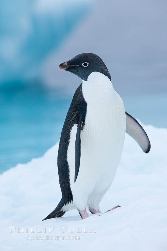 Adelie penguin on an iceberg. Brown Bluff, Antarctic Peninsula, Antarctica, Pygoscelis adeliae, natural history stock photograph, photo id 25035