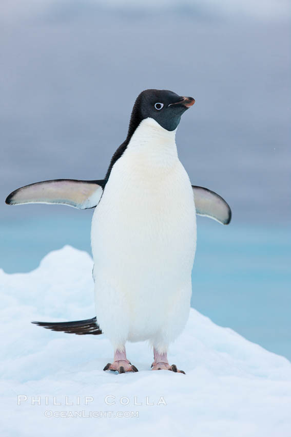 Adelie penguin on an iceberg. Brown Bluff, Antarctic Peninsula, Antarctica, Pygoscelis adeliae, natural history stock photograph, photo id 25091