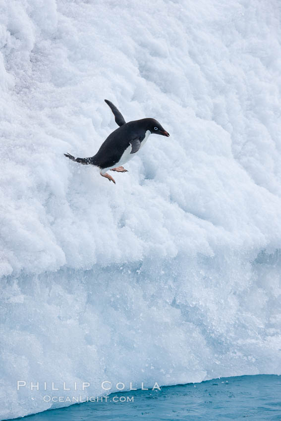 Adelie penguin leaping off an iceberg into the ocean. Paulet Island, Antarctic Peninsula, Antarctica, Pygoscelis adeliae, natural history stock photograph, photo id 25138