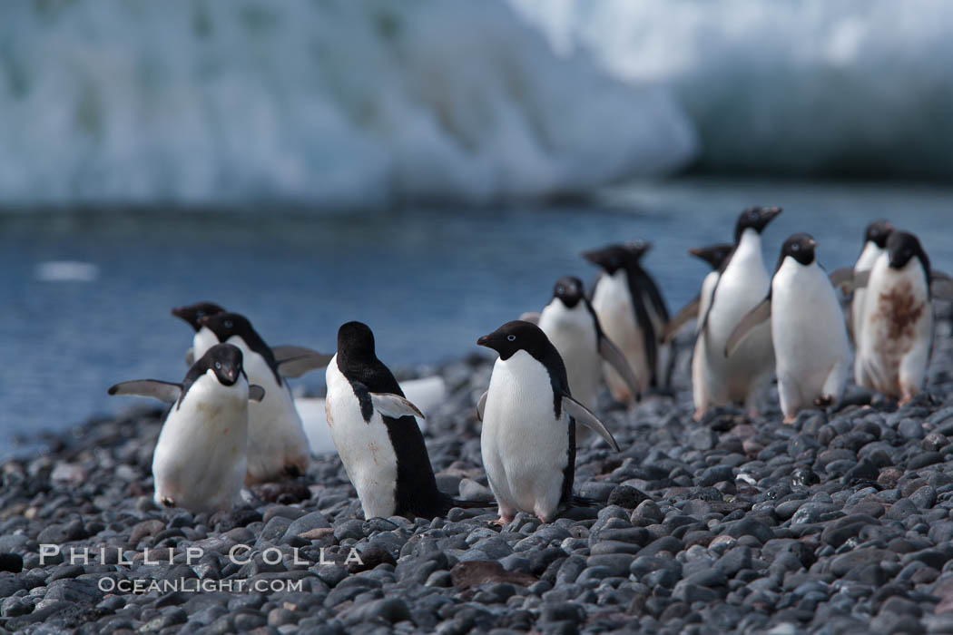 Adelie penguins walk along the edge of the sea, before leaving en masse to forage for food. Paulet Island, Antarctic Peninsula, Antarctica, Pygoscelis adeliae, natural history stock photograph, photo id 25162
