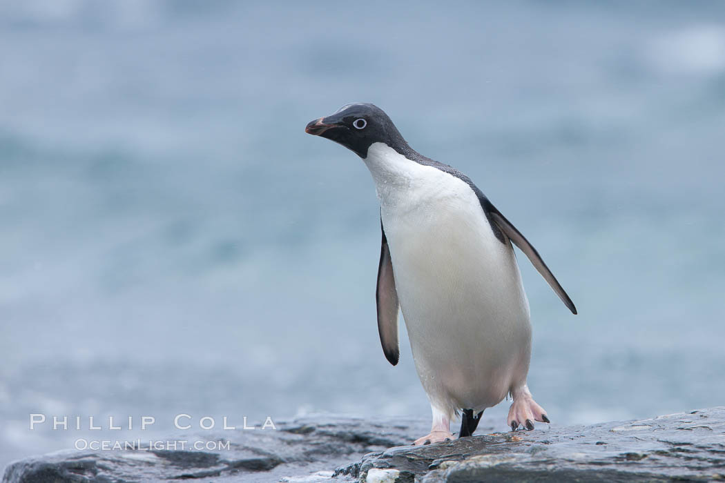 Adelie penguin, on rocky shore, leaving the ocean after foraging for food, Shingle Cove. Shingle Cove, Coronation Island, South Orkney Islands, Southern Ocean, Pygoscelis adeliae, natural history stock photograph, photo id 25183