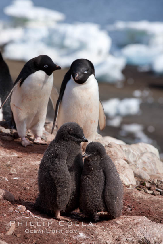 Adelie penguins, adults and chicks. Devil Island, Antarctic Peninsula, Antarctica, Pygoscelis adeliae, natural history stock photograph, photo id 25102