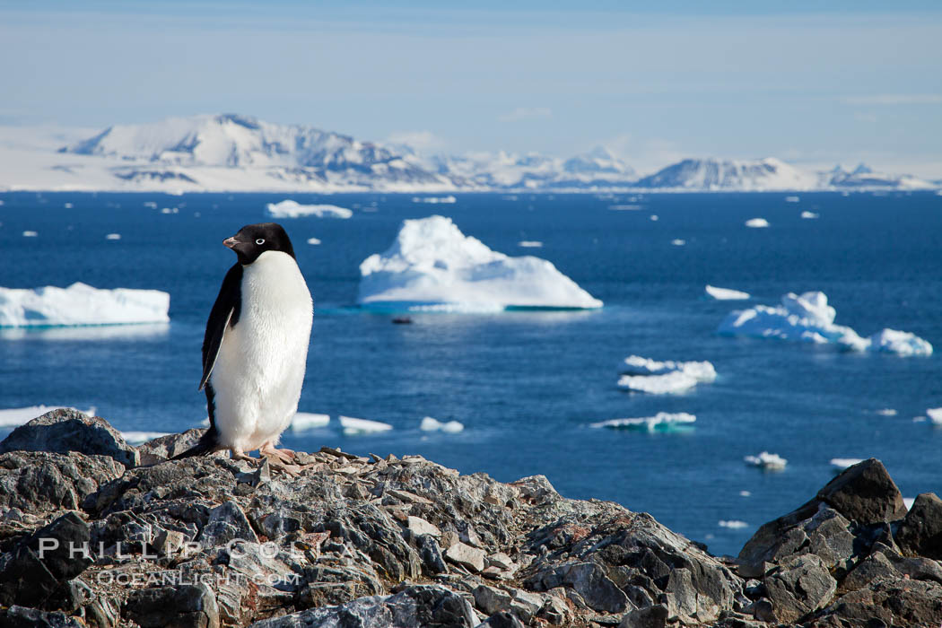 Adelie penguin, Pygoscelis adeliae, Devil Island