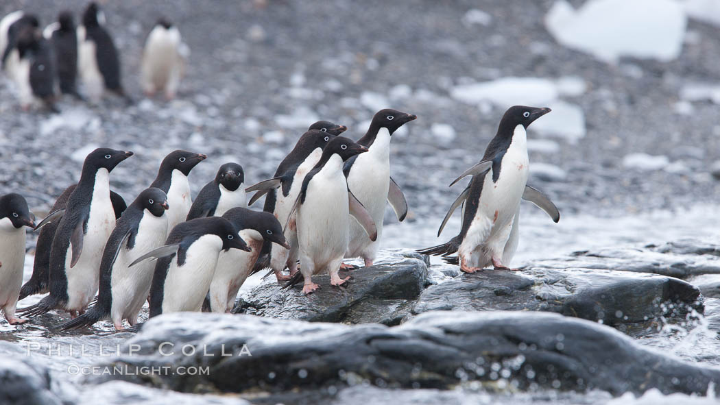 Adelie penguins, Shingle Cove, Coronation Island, South Orkney Islands. Shingle Cove, Coronation Island, South Orkney Islands, Southern Ocean, Pygoscelis adeliae, natural history stock photograph, photo id 25184