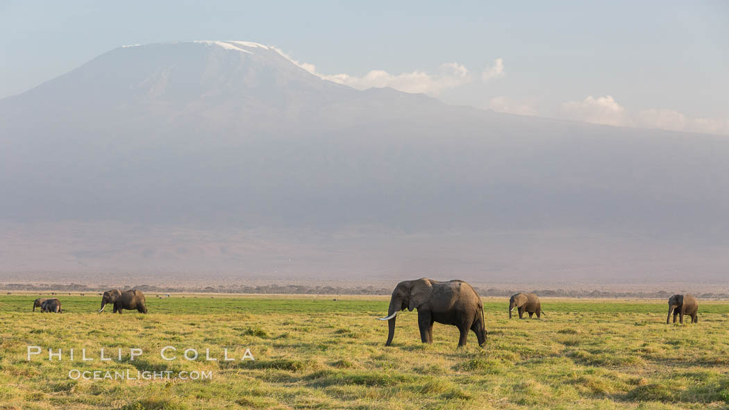 African elephants below Mount Kilimanjaro, Amboseli National Park, Kenya., Loxodonta africana, natural history stock photograph, photo id 29525