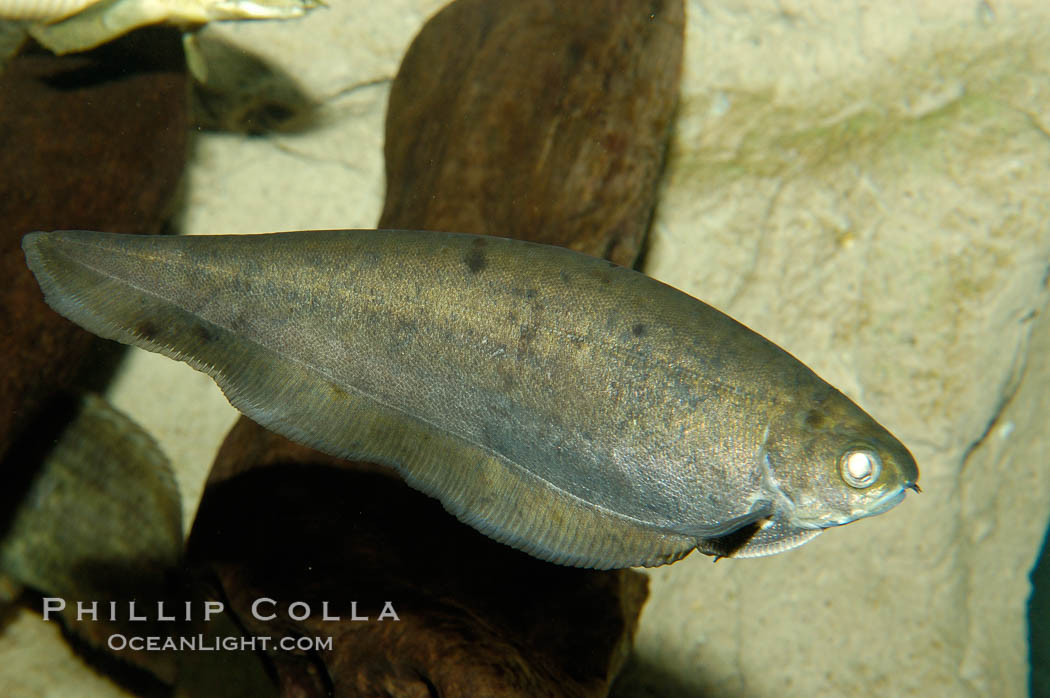 African knifefish, a freshwater fish native to the river and coastal river basins of West Africa., Xenomystus nigri, natural history stock photograph, photo id 09339