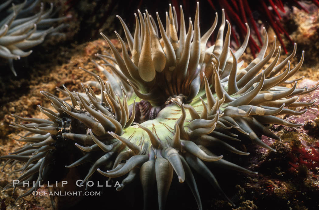 Aggregating anemone opens its arms to passing ocean currents in an attempt to snag passing bits of food or unwary prey. Laguna Beach, California, USA, Anthopleura elegantissima, natural history stock photograph, photo id 00314
