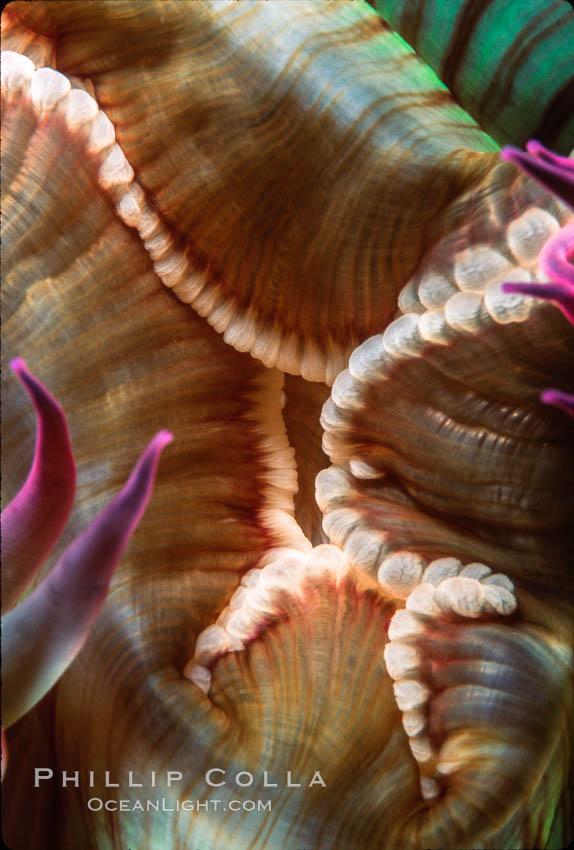 Anemone mouth. San Miguel Island, California, USA, Anthopleura elegantissima, natural history stock photograph, photo id 02484