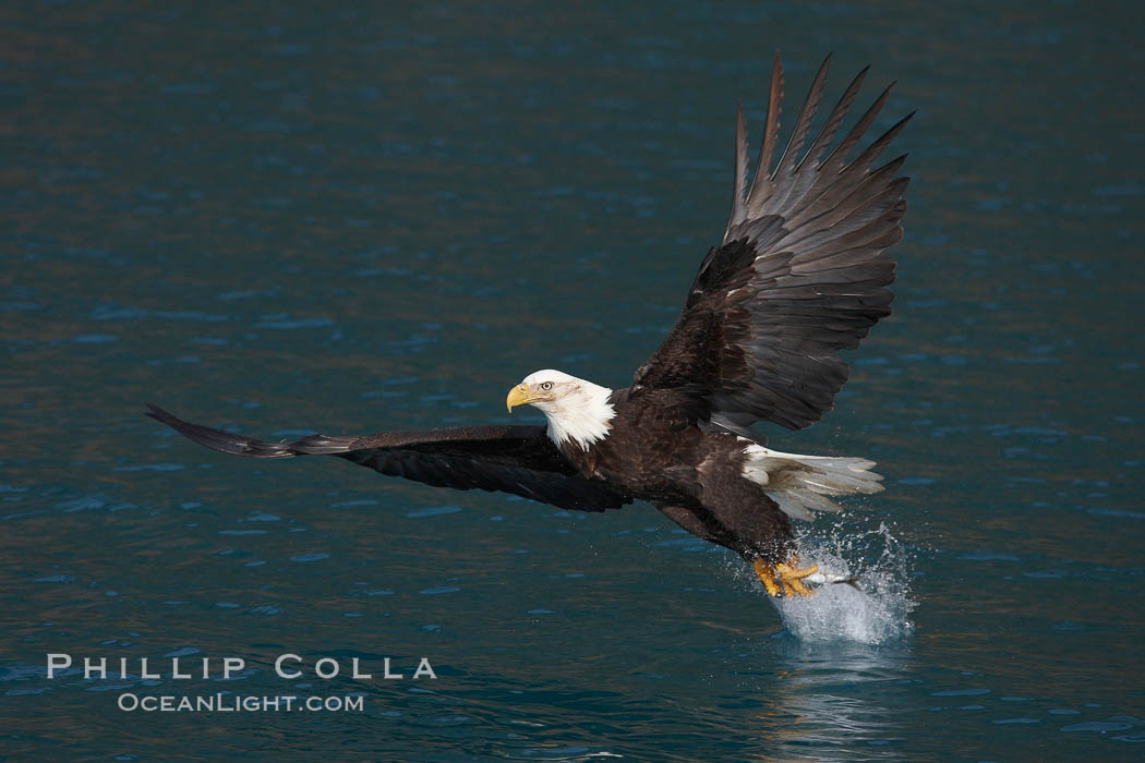 Bald eagle makes a splash while in flight as it takes a fish out of the water., Haliaeetus leucocephalus, Haliaeetus leucocephalus washingtoniensis,  Copyright Phillip Colla, image #22584, all rights reserved worldwide.