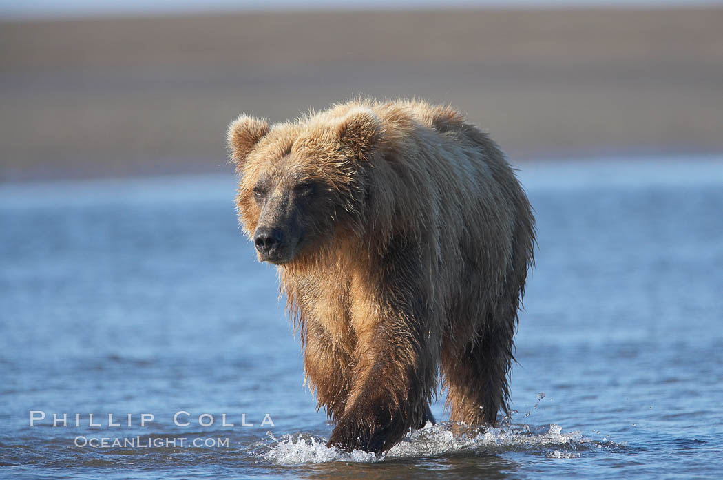 Coastal brown bear forages for salmon returning from the ocean to Silver Salmon Creek.  Grizzly bear. Lake Clark National Park, Alaska, USA, Ursus arctos, natural history stock photograph, photo id 19292
