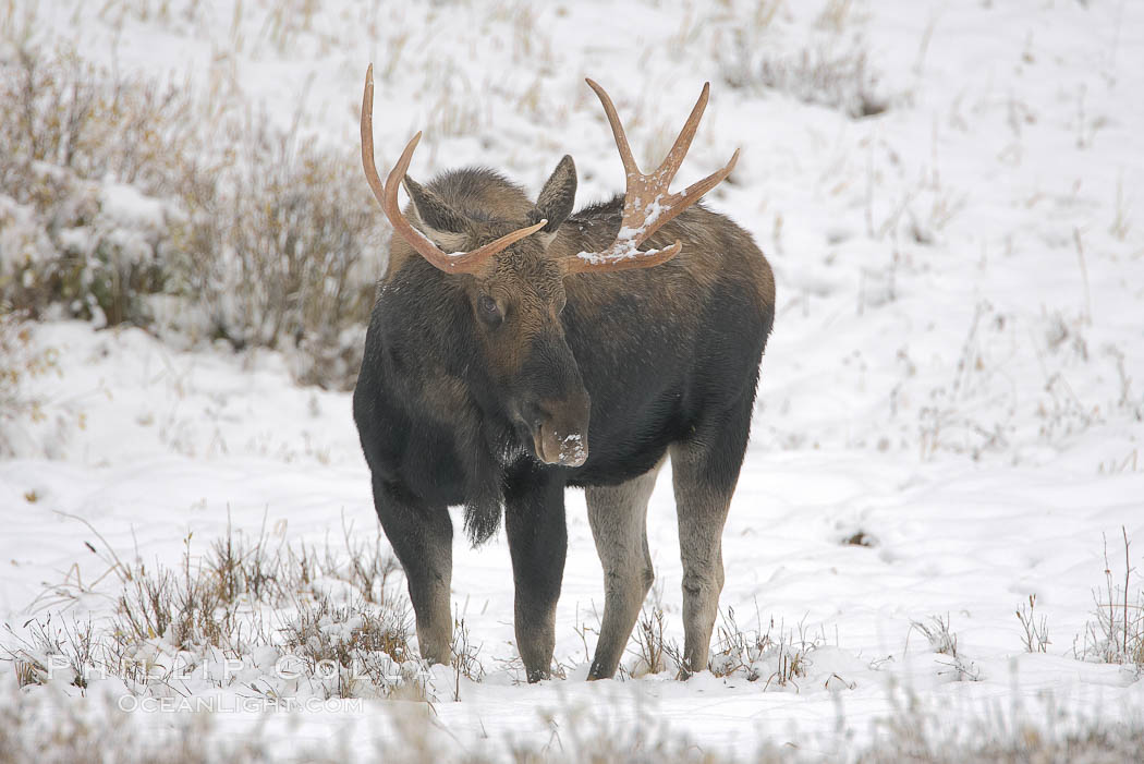 A male moose, bull moose, on snow covered field, near Cooke City. Yellowstone National Park, Wyoming, USA, Alces alces, natural history stock photograph, photo id 19681