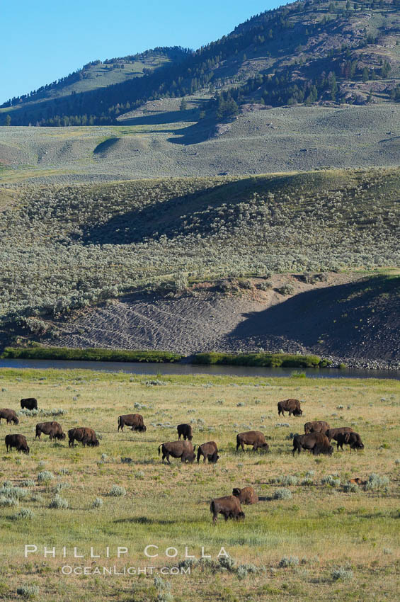 A herd of bison grazes near the Lamar River. Lamar Valley, Yellowstone National Park, Wyoming, USA, Bison bison, natural history stock photograph, photo id 13145