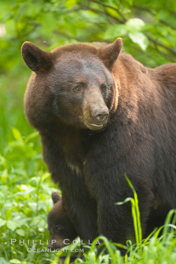 Black bear portrait.  American black bears range in color from deepest black to chocolate and cinnamon brown.  They prefer forested and meadow environments. This bear still has its thick, full winter coat, which will be shed soon with the approach of summer., Ursus americanus,  Copyright Phillip Colla, image #18742, all rights reserved worldwide.