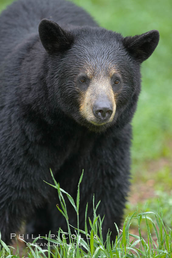 Black bear walking in a grassy meadow.  Black bears can live 25 years or more, and range in color from deepest black to chocolate and cinnamon brown.  Adult males typically weigh up to 600 pounds.  Adult females weight up to 400 pounds and reach sexual maturity at 3 or 4 years of age.  Adults stand about 3' tall at the shoulder., Ursus americanus,  Copyright Phillip Colla, image #18748, all rights reserved worldwide.