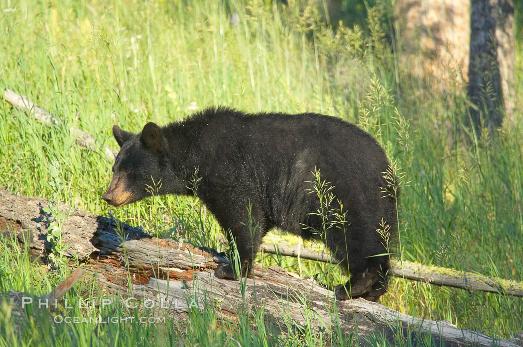 Black bear, Lamar Valley. The black bear is frequently seen in Yellowstone National Park. Lamar Valley, Yellowstone National Park, Wyoming, USA, Ursus americanus, natural history stock photograph, photo id 13103