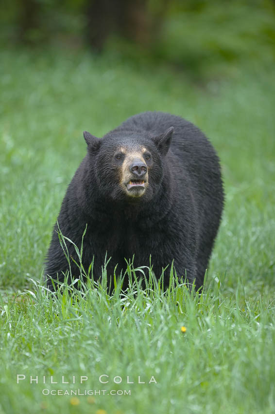 Black bear walking in a grassy meadow.  Black bears can live 25 years or more, and range in color from deepest black to chocolate and cinnamon brown.  Adult males typically weigh up to 600 pounds.  Adult females weight up to 400 pounds and reach sexual maturity at 3 or 4 years of age.  Adults stand about 3' tall at the shoulder. Orr, Minnesota, USA, Ursus americanus, natural history stock photograph, photo id 18749
