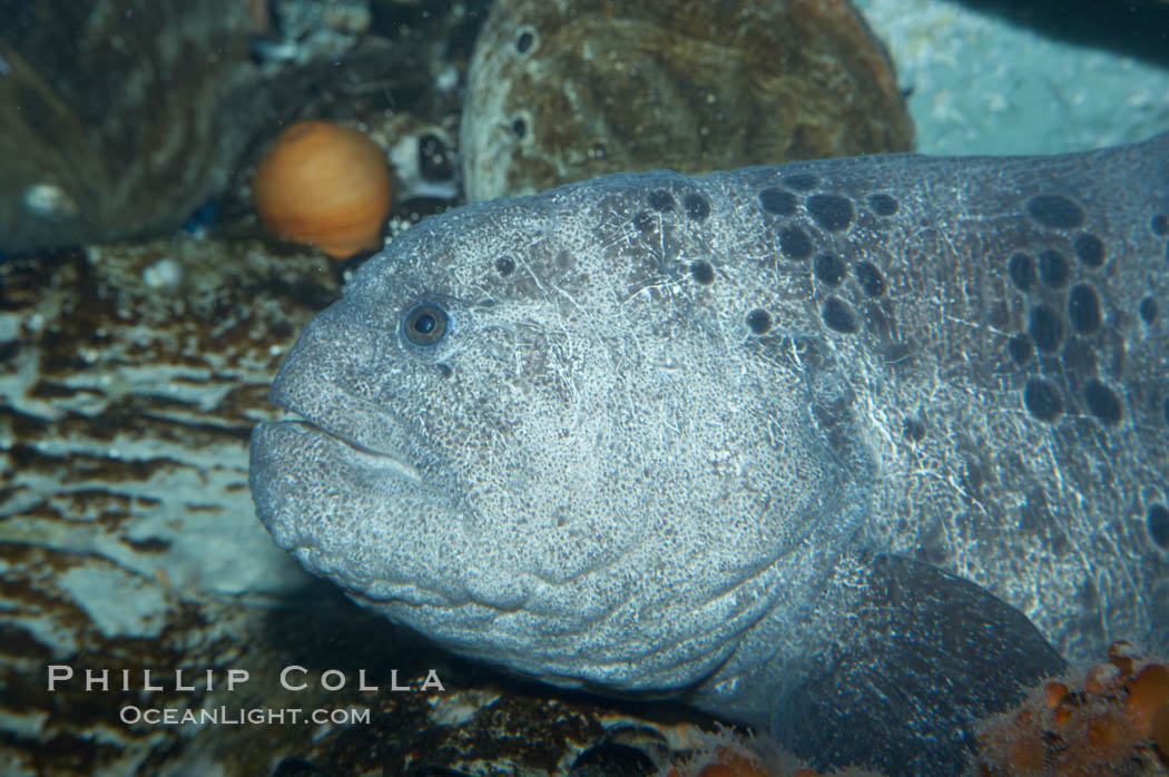 Wolf eel, although similar in shape to eels, is cartilaginous and not a true fish.  Its powerful jaws can crush invertibrates, such as spiny sea urchins.  It can grow to 6 feet (2m) in length., Anarrhichthys ocellatus, natural history stock photograph, photo id 11847