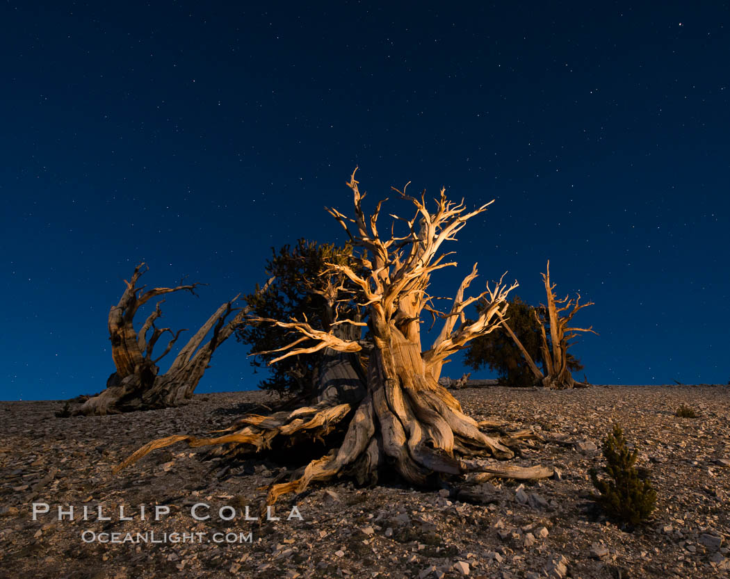 Ancient bristlecone pine trees at night, under a clear night sky full of stars, lit by a full moon, near Patriarch Grove. White Mountains, Inyo National Forest, California, USA, Pinus longaeva, natural history stock photograph, photo id 28528