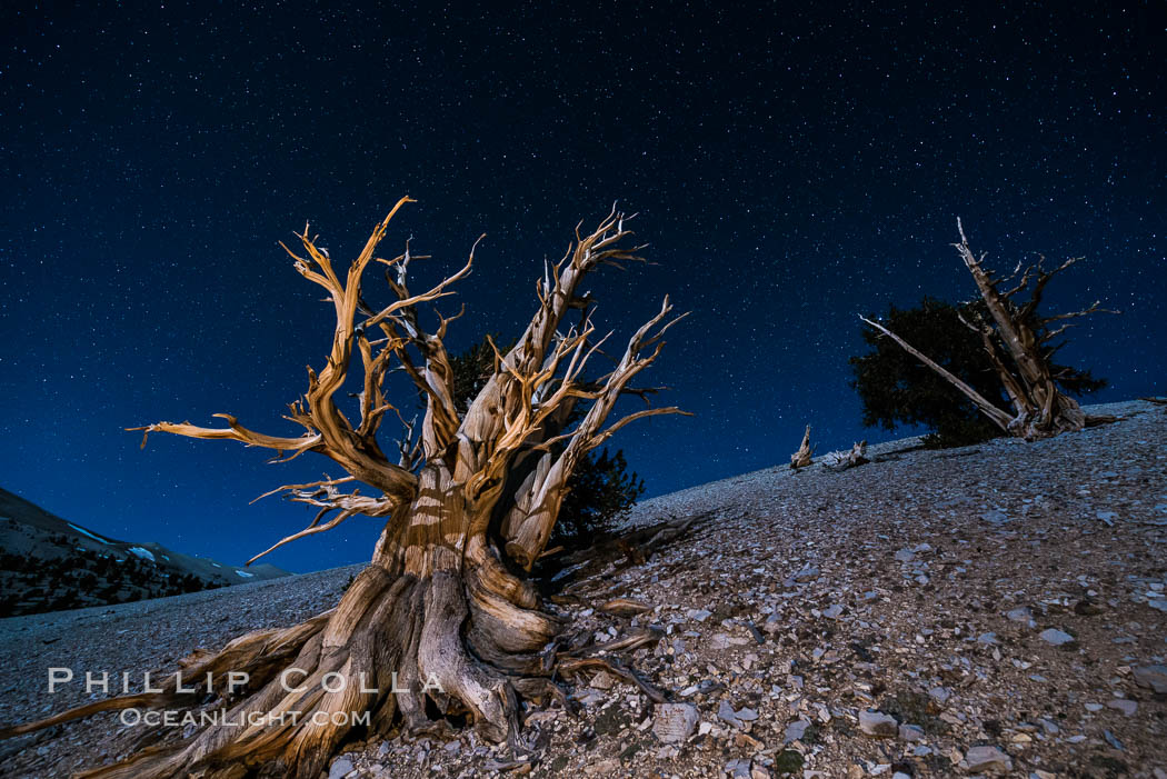 Ancient bristlecone pine trees at night, under a clear night sky full of stars, lit by a full moon, near Patriarch Grove. White Mountains, Inyo National Forest, California, USA, Pinus longaeva, natural history stock photograph, photo id 28535