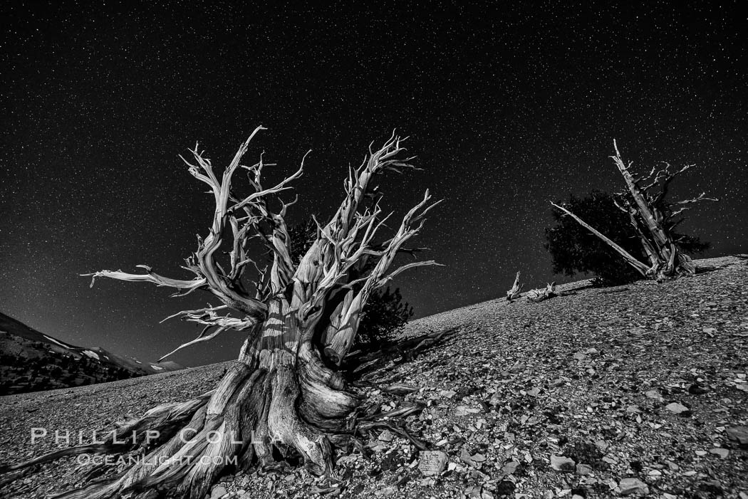 Ancient bristlecone pine trees at night, under a clear night sky full of stars, lit by a full moon, near Patriarch Grove, Pinus longaeva, White Mountains, Inyo National Forest