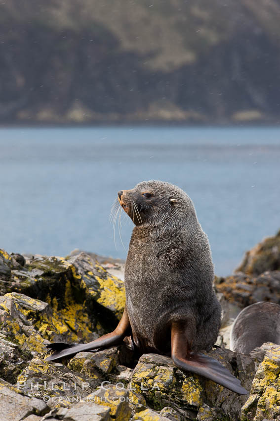 Antarctic fur seal, adult male (bull). Hercules Bay, South Georgia Island, Arctocephalus gazella, natural history stock photograph, photo id 24422