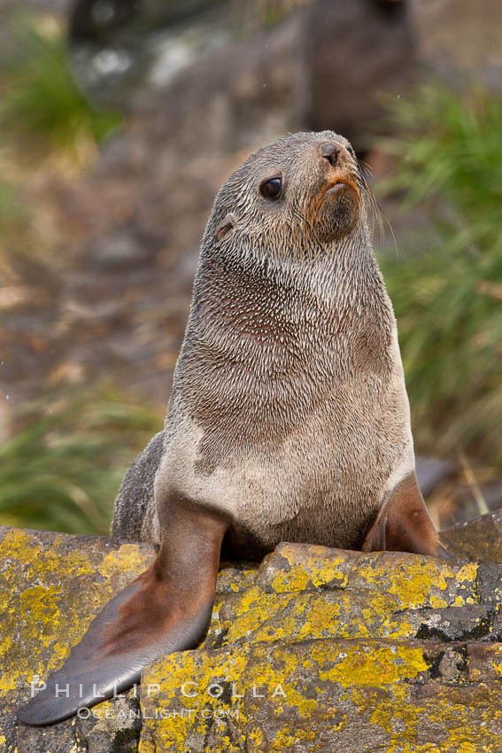 Antarctic fur seal, Arctocephalus gazella, Hercules Bay