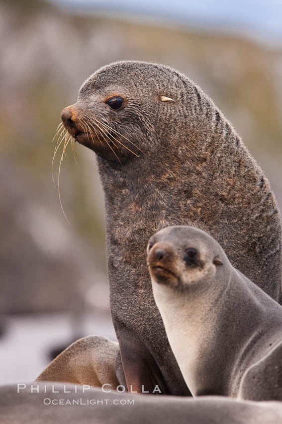 Antarctic fur seals, adult male bull and female, illustrating extreme sexual dimorphism common among pinnipeds (seals, sea lions and fur seals), Arctocephalus gazella, Right Whale Bay