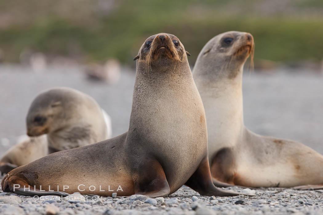 Antarctic fur seal, juveniles or females. Right Whale Bay, South Georgia Island, Arctocephalus gazella, natural history stock photograph, photo id 24319