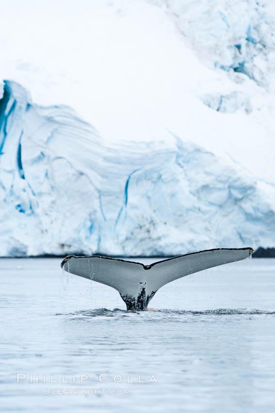 Antarctic humpback whale, raising its fluke (tail) before diving, Neko Harbor, Antarctica. Neko Harbor, Antarctic Peninsula, Antarctica, Megaptera novaeangliae, natural history stock photograph, photo id 25675