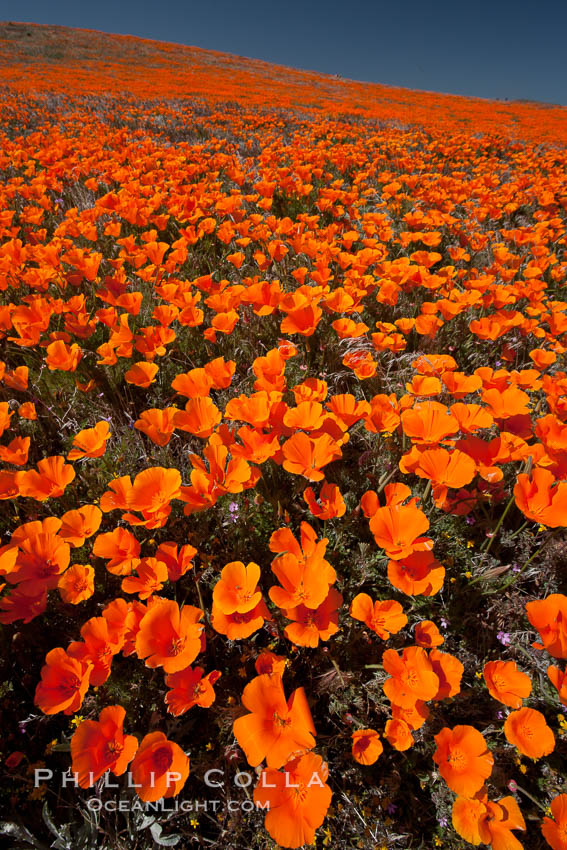 California poppies, hillside of brilliant orange color, Lancaster, CA. Antelope Valley California Poppy Reserve SNR, Lancaster, California, USA, Eschscholzia californica, Eschscholtzia californica, natural history stock photograph, photo id 25228