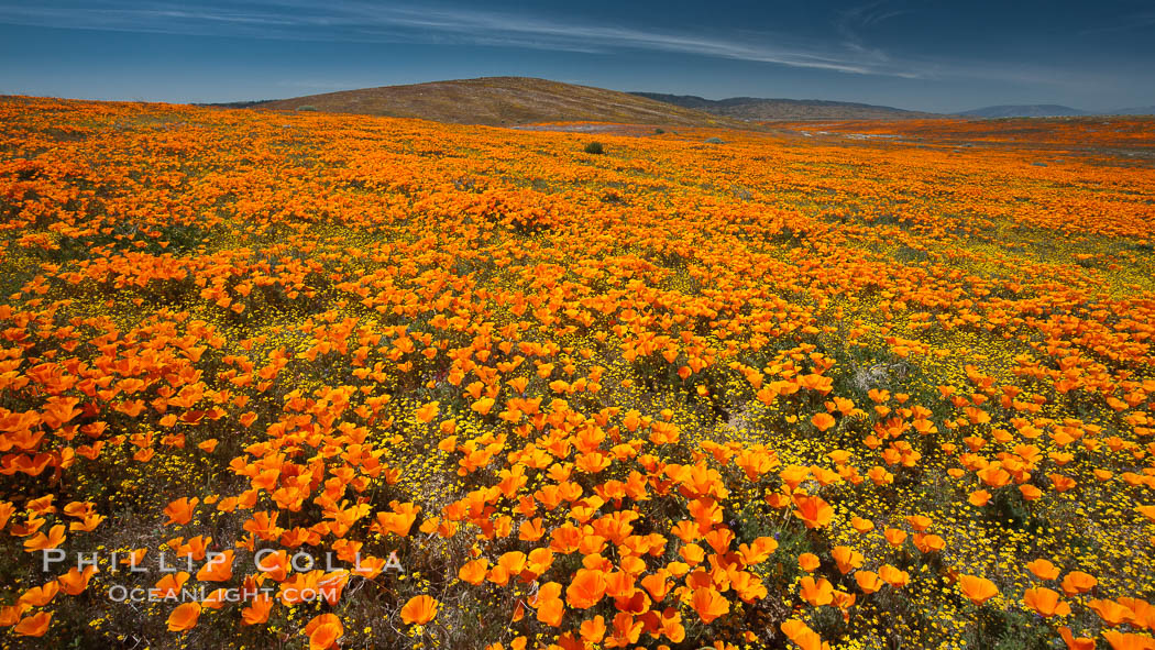 California poppies, wildflowers blooming in huge swaths of spring color in Antelope Valley, Lancaster